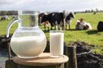 dairy-milk-cows-150